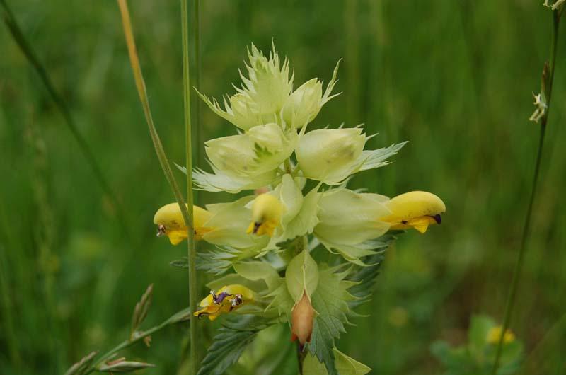 fleurs crete de coq